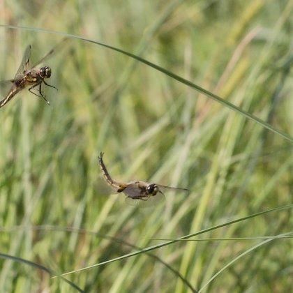 vážka čtyřskvrnná ♂ + ♀ (2018)