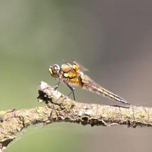 vážka čtyřskvrnná ♂ (2015)