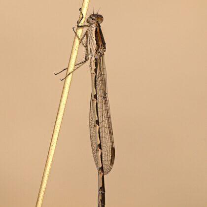 šídlatka hnědá ♂ (20120)
