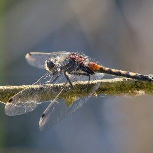 vážka jasnoskvrnná ♂ (2015)