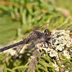 vážka běloústá ♀ (2015)