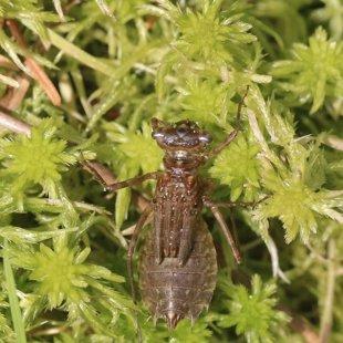 vážka běloústá - larva (2017)