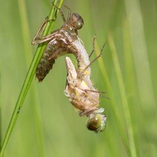 vážka běloústá ♀ (2017)