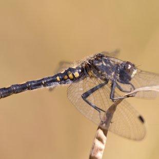 vážka čárkovaná ♀ (2015)