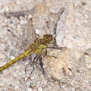 vážka obecná - juvenilní ♂ (2015)