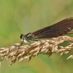 motýlice obecná ♀ (2015)