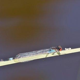 Šidélko rudoočko ♂ (2015)