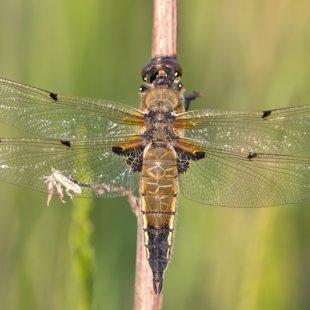 vážka čtyřskvrnná ♀ (2016)